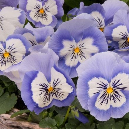 Pansy Mystique Blue Whiskers